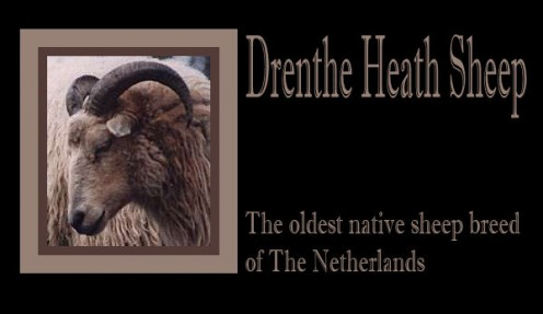 Dutch Native Sheep Breed: Drenthe Heath Sheep (Drents Heideschaap)