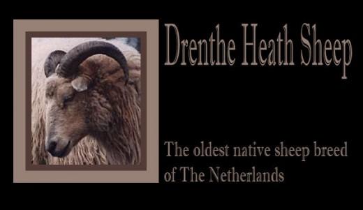 Drenthe Heath Sheep - Drents Heideschaap