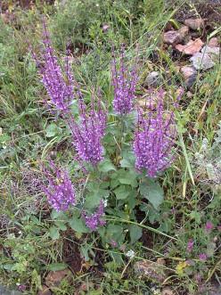 S. judaica (Judean sage) growing wild on Mount Carmel in Israel