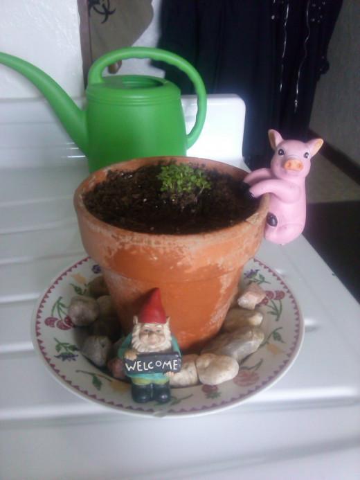 My alyssum, Ally, growing nicely!
