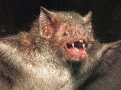 The Truth About Vampire Bats