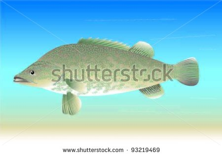 The Murray cod