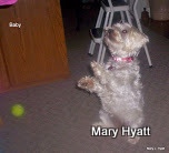The Miniature Schnauzer is a very intelligent breed, and enjoys learning new tricks.
