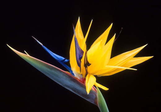 Exotic Bird of Paradise flower