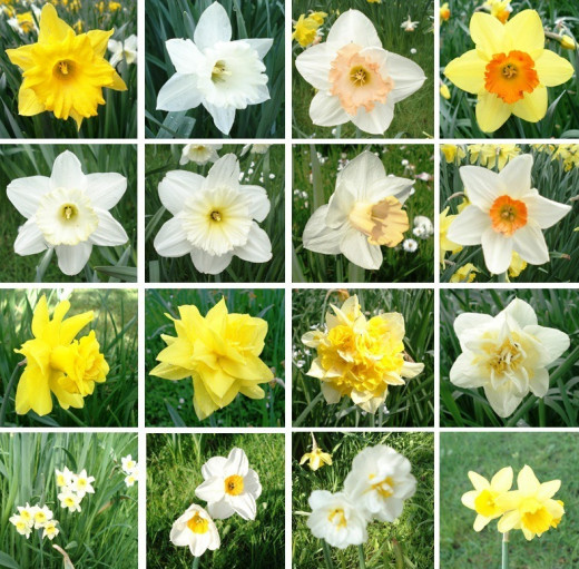 Narcissus group