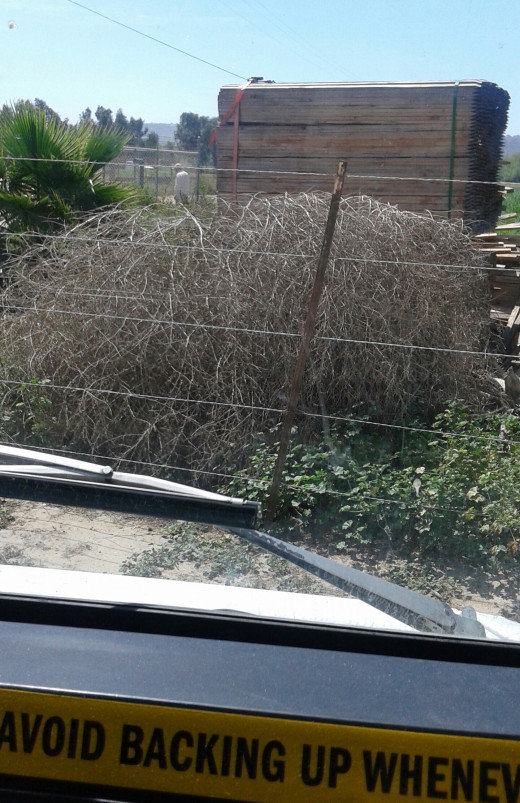 I was in the process of backing up when I came across these Tumbleweeds, a ubiquitous sight on the California landscape these days, and a candidate to replace the poppy as a more appropriately symbolic state flower.