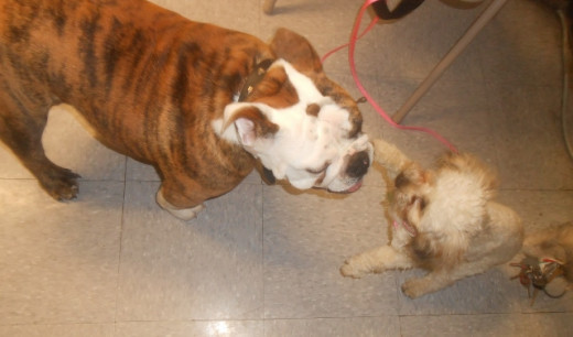 Little Sissy playing with a bulldog puppy shortly after meeting him. Our trainer is amazing!