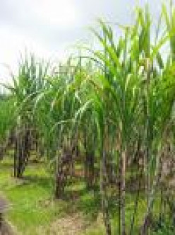 Sugar Cane growing in Barbados