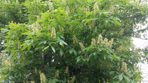 Horse Chestnut Tree Early May