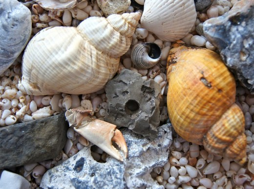 Common seashells found on most beaches.