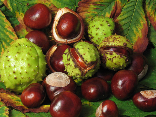 Horse Chestnut nuts