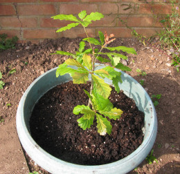 This baby tree will grow into a magnificent ... what?