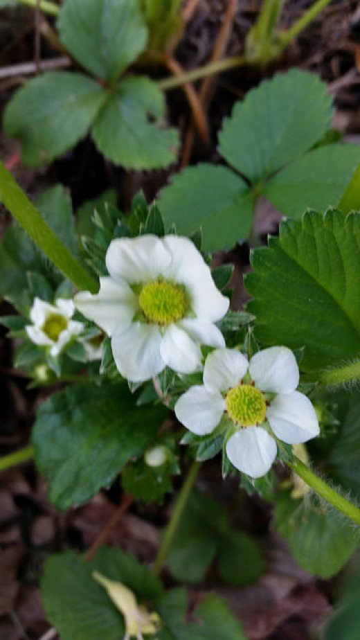 Strawberry blooms in early May