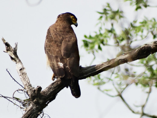 A Crested Serpent Eagle at Hollong