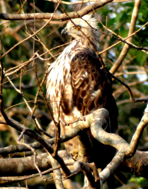 Juvenile Changeable Hawk Eagle; Hollong