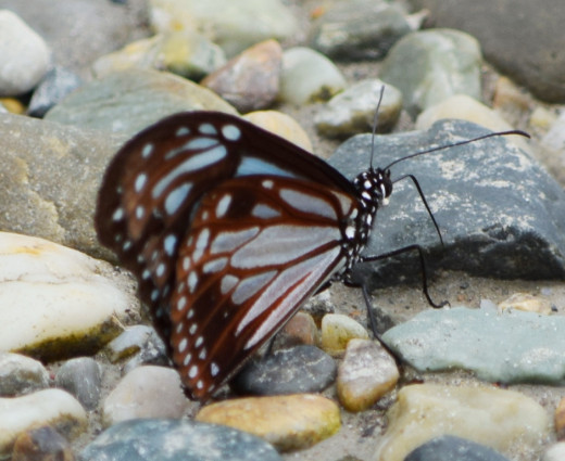 Butterfly 2; Hollong