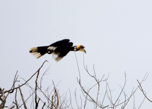 The majestic flight of a hornbill : Memories of Hollong