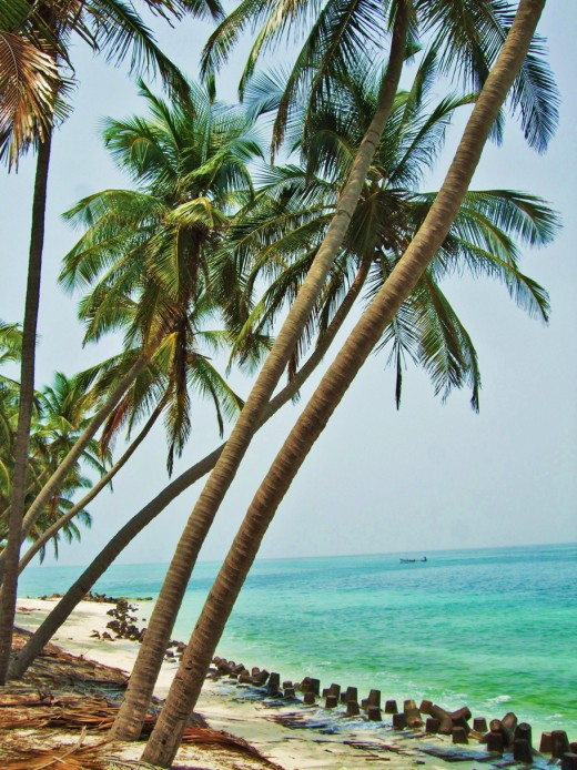 Coconut trees on Kadmat Island