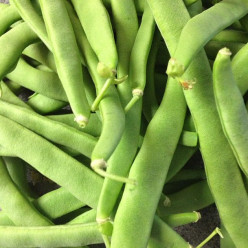 Summertime Crops - How to Grow Pole Beans