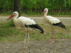 White Storks in Alsace
