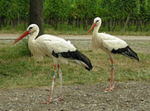White Storks in Alsace