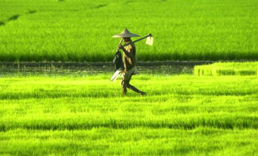 Paddy Cultivation around Alappuzha