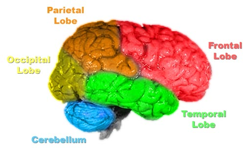 Parts of the brain governing speech and recognition.