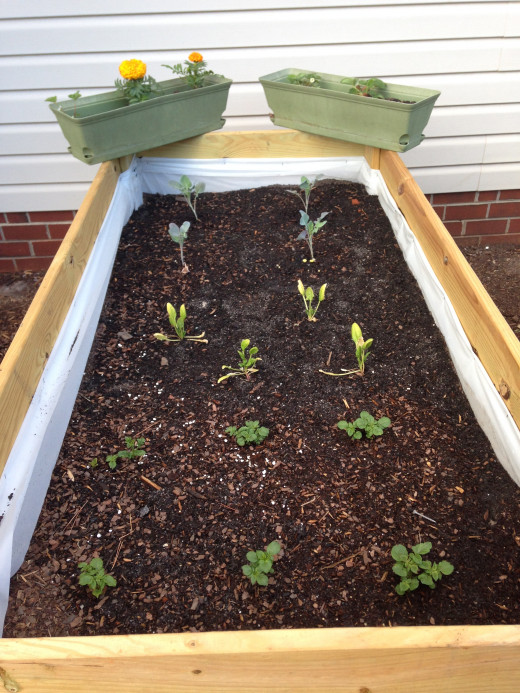 Front to back: red potatoes, spinach (still looking quite sad), broccoli, strawberries and marigolds.