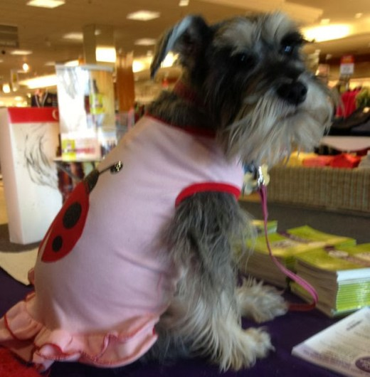 Ladybug Schnauzer works for our rescue doing fundraising at local events. She is a rock star at meeting new people!