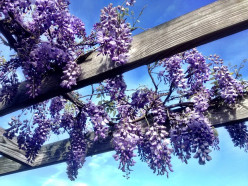 Wisteria Care Guide