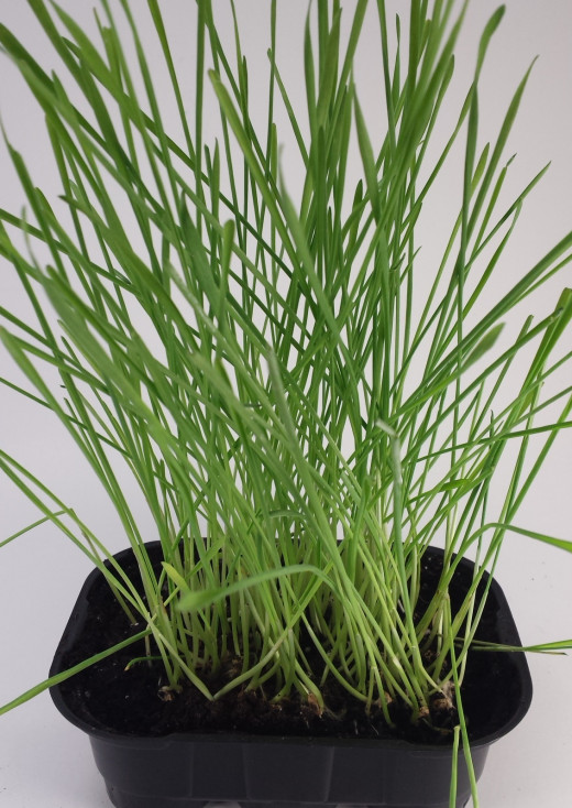 Some cat grass growing happily