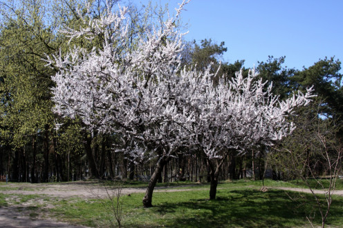Spring Blossom Of Apricot Tree