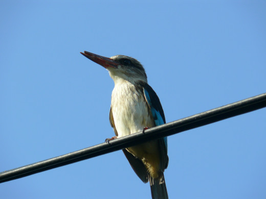 Brown-hooded Kingfisher using telephone line to look for prey