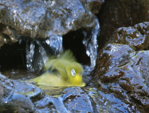 Cape White-eye taking a turn in the bird bath