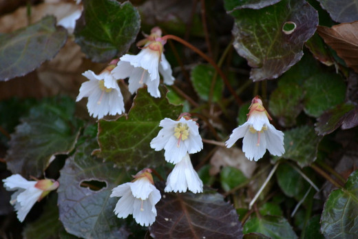 Oconee Bells (Shortia galacifolia)