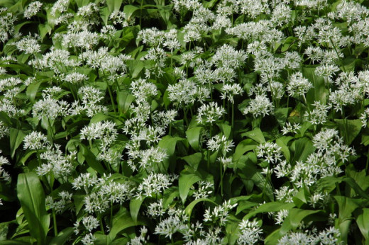 "Wild garlic has the species name allium ursinium, Latin for ""bear's garlic"", because the ancients believed bears ate it to build strength and aid digestion."