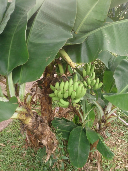 A new banana plant begins growing immediately after the original plants bears fruit and dies.