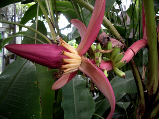 Banana plants are massive, but still are technically not trees.