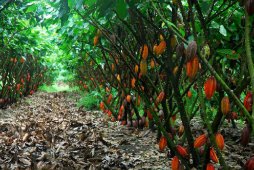 Chocolate is obtained from the bean pods of Cacao Trees