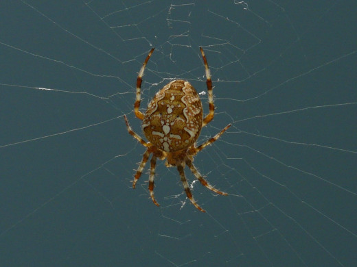 Here is another photo of what Steve would look like, the European Garden Spider. Notice the white cross on it's back.