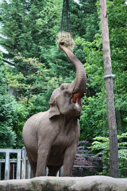 Irate elephant