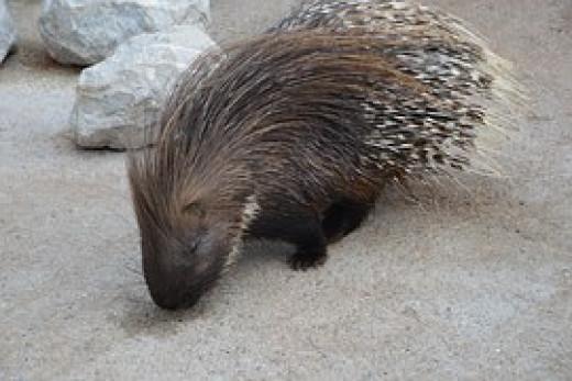 Indignant porcupine