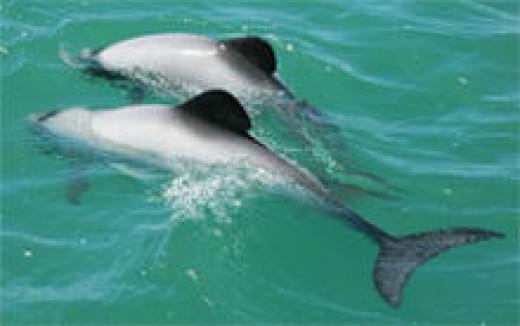 The World's rarest Dolphin
