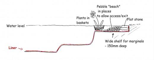 Sketch by David Kerr: www.devonpondplants.co.uk