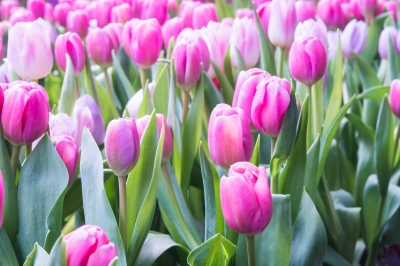 Close up of pink tulips in a flower garden.