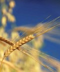 Shavuot Also Celebrates The End Of The Jewish Harvest