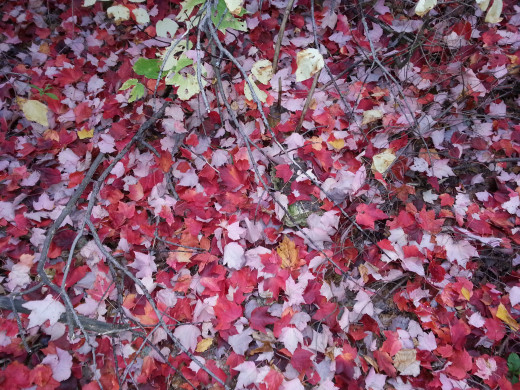Nature's artistry, fallen sugar maple leaves line the roadside of the Mt. Washington Auto Road every October.