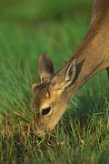 Key deer