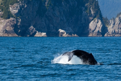 This could be your view if you work as a whale watching deckhand.
