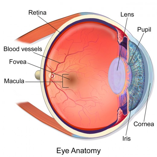 Anatomy of the Eye Showing Macula